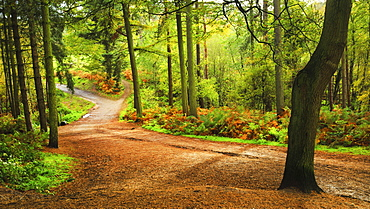Woodland path within Delamere Forest on an autumn afternoon, Cheshire, England, United Kingdom, Europe