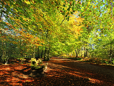 A path through Delamere Forest framed by trees in their autumn colour, Cheshire, England, United Kingdom, Europe