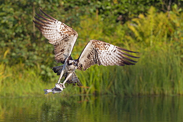 Osprey (Pandion haliaetus) leaving a fishing pool with wings arched creating the power to lift the freshly caught fish, Pirkanmaa, Finland, Scandinavia, Europe