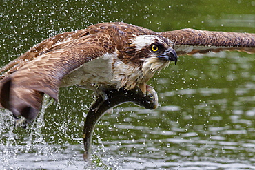 Osprey (Pandion haliaetus) flying low above the water with a freshly caught fish in its grasp, Pirkanmaa, Finland, Scandinavia, Europe