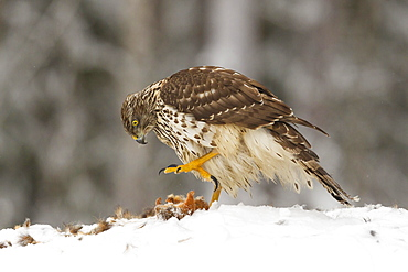 Juvenile goshawk (Accipiter gentilis) about to use its large talons to hold down a red squirrel in the snow, Taiga Forest, Finland, Scandinavia, Europe