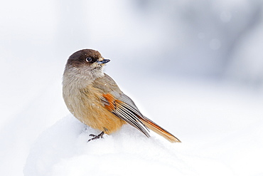 Siberian jay (Perisoreus infaustus) in the snow in the Taiga Forest, Finland, Scandinavia, Europe
