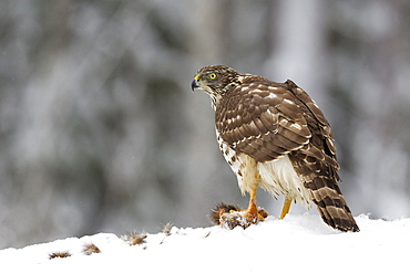 Juvenile goshawk (Accipiter gentilis) in the snow paying attention to noises and potential threats with its prey beneath talons, Taiga Forest, Finland, Scandinavia, Europe