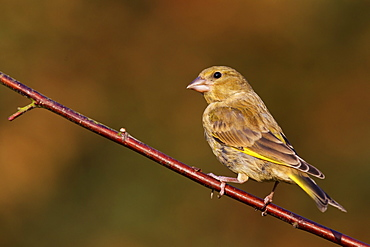 Greenfinch (Carduelis chloris) perched on a dogwood branch in a garden, Cheshire, England, United Kingdom, Europe