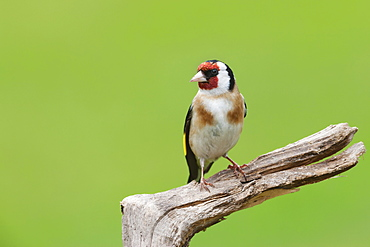 Goldfinch (Carduelis carduelis) garden bird, perched on a tree stump, Cheshire, England, United Kingdom, Europe