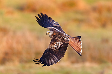 Red kite (Milvus milvus) flying wings out-stretched low over farmland searching for food, Wales, United Kingdom, Europe