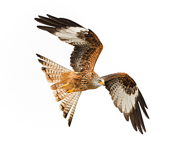 Red kite (Milvus milvus) in flight low above a snow covered field hunting for food, Wales, United Kingdom, Europe
