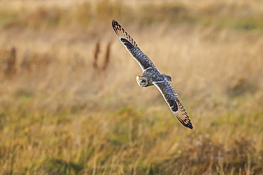 Short-eared owl (Asio flammeus) manoeuvring in-flight while hunting for prey above marsh land, Cheshire, England, United Kingdom, Europe