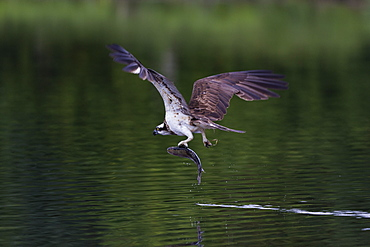 Osprey (Pandion haliaetus) leaving a small loch with a fish in its talons, Scotland, United Kingdom, Europe
