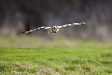 Short-eared owl (Asio flammeus) flying low over rough grass hunting for prey, Cheshire, England, United Kingdom, Europe