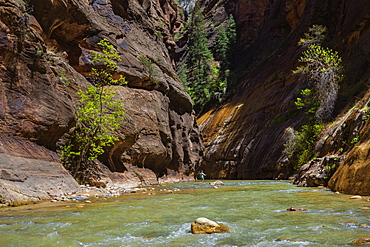 Walking in the Virgin Narrows in Zion National Park, Utah, United States of America, North America