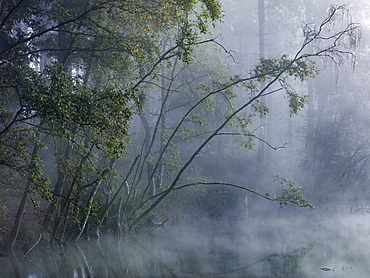 Enchanted forest, mist shrouds the trees around Dead Lake in Delamere Forest, Cheshire, England, United Kingdom, Europe