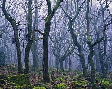 Twisted gnarled trees spiral to the light on a misty morning in Padley Gorge, Derbyshire, England, United Kingdom, Europe