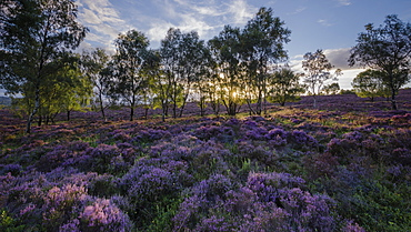 Summer heather in bloom within a woodland clearing backlit by the setting sun at Surprise View, Peak District National Park, Derbyshire, England, United Kingdom, Europe