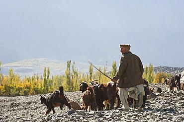 A shepherd in the remote Bagrot Valley, Gilgit-Baltistan, Pakistan, Asia