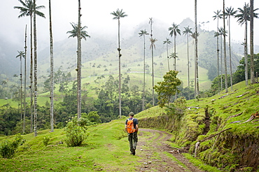 Walking through Wax palms which are the highest in the world in the Cocora valley, Colombia, South America