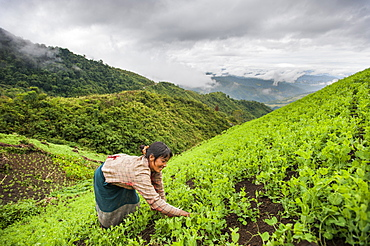 A woman clears away weeds in a pea field in north east India, India, Asia