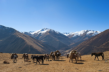 Pack horses cross a small pass near Goyul along the Lasa to Gasa trekking route, Bhutan, Himalayas, Asia