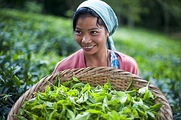A girl collects tea leaves in the state of Meghalaya in north east India, India, Asia