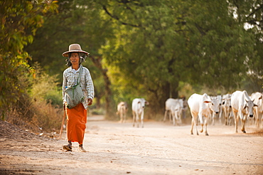 A farmer with her herd of cows, Mandalay region, Myanmar (Burma), Asia