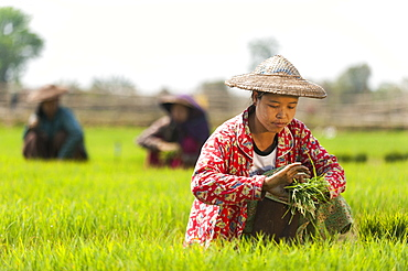 A woman harvests young rice into bundles to be re-planted spaced further apart, Kachin State, Myanmar (Burma), Asia