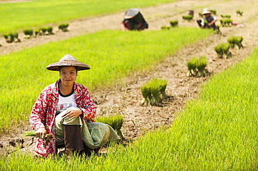 A woman harvests young rice into bundles for replanting, Kachin State, Myanmar (Burma), Asia