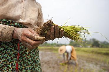 A woman plants rice in paddies near Myitkyina, Kachin State, Myanmar (Burma), Asia