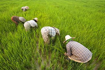 Women clear grass from rice paddies near Keng Tung, Shan State, Myanmar (Burma), Asia
