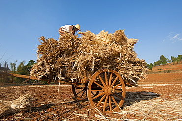 A girl loads bundles of harvested wheat on to a bull cart, Myanmar (Burma), Asia