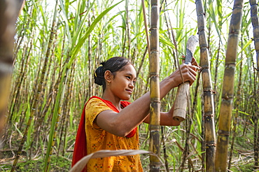 A girl harvests sugarcane in the Rangamati District, Chittagong Hill Tracts, Bangladesh, Asia