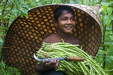 A boy harvests long beans in the Chittagong Hill Tracts, Bangladesh, Asia