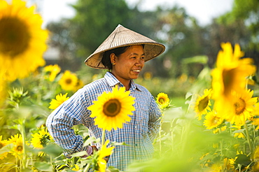 A woman working in a sunflower field near Myitkyina in Kachin State, Myanmar (Burma), Asia