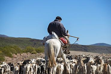 Gaucho on horseback herding goats along Route 40, Argentina, South America