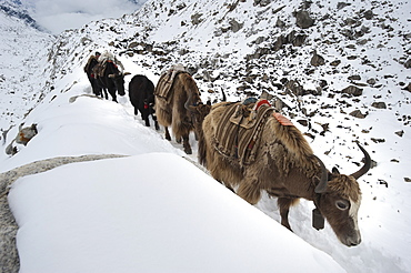 Yaks, the beasts of burden in the Himalaya, on their way to Everest Base Camp, Khumbu Region, Nepal, Asia