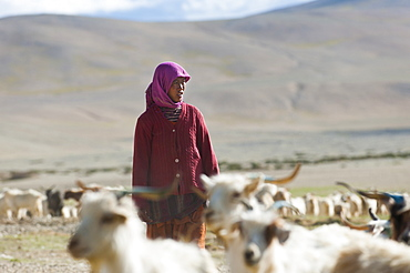 A nomad woman gathers her herd together in the morning to collect milk and brush them to extract wool in the remote Himalayan region, Ladakh, India, Asia