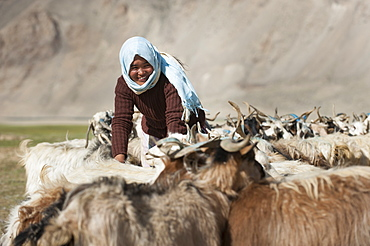 A nomad woman collects her goats together for milking, wool extraction and a quick health inspection, Ladakh, India, Asia
