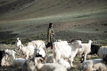 A Ladakhi nomad gathers her goats in the morning at Rina nomad camp, Ladakh, India, Asia