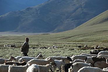 A nomad gathers his herd of sheep and goats in the morning, Ladakh, India, Asia