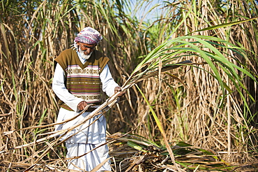 A man trims off the excess leaves from a bunch of sugarcane, Uttarakhand (Uttaranchal), India, Asia