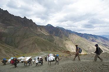 Pack horses laden with trekking equipment cross the Konze La on the Hidden Valleys trek, Ladakh, India, Asia