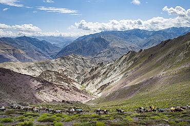 Pack horses in the Ladakh region, Himalayas, India, Asia