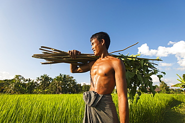 A farmer carries some sticks to be used to make a fence, Chittagong Hill Tracts, Bangladesh, Asia