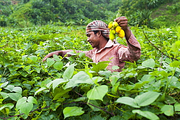 A man collects squashes in the Chittagong Hill Tracts, Bangladesh, Asia