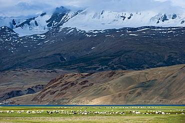 Goats in the remote Himalayan region of Ladakh near Tso Moriri, Ladakh, India, Asia