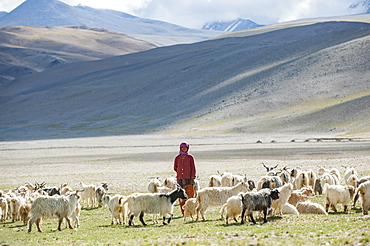 A nomad woman gathers her herd together in the morning to collect milk and brush them to extract wool in the remote Himalayan region of Ladakh in north India, India, Asia