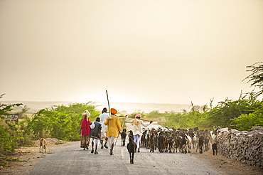 Shepherds return from grazing their goats at sunset in the dry state of Rajasthan, India, Asia