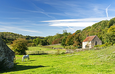 A white pony grazing in a paddock at Rievaulx Abbey, The North Yorkshire Moors, Yorkshire, England, United Kingdom, Europe