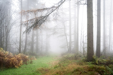 Foggy autumn woods at Wass Bank near Helmsley, The North Yorkshire Moors, Yorkshire, England, United Kingdom, Europe
