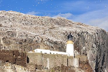 Gannets on Bass Rock, East Lothian, Scotland, United Kingdom, Europe