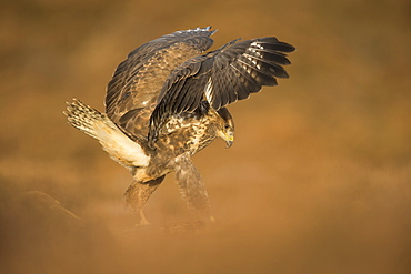 Common buzzard (Buteo buteo), flapping wings on the ground, United Kingdom, Europe